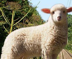 Owce zjedzą Barszcz Sosnowskiego
