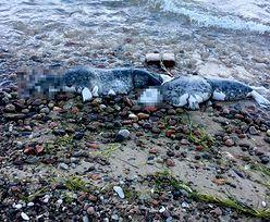 Przerażający widok. Dwie martwe foki z pętlami na szyjach