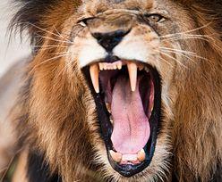 Lew uciekł i zabił człowieka. Władze apelują do mieszkańców, by nie wychodzili z domów
