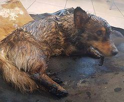 Pies przyklejony do asfaltu. Dramatyczna akcja ratunkowa