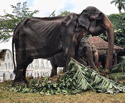 Zmarł słoń, którego wykorzystywano i zmuszano do występów