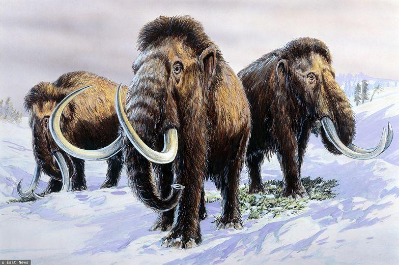 Mamuty z wyspy Wrangla