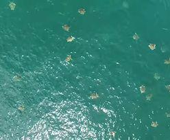 Żółw na żółwiu. To może być ich największe skupisko żółwi morskich, jakie kiedykolwiek sfilmowano