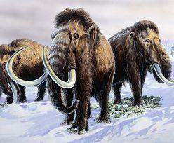 Historia włochatego mamuta z wyspy Wrangla. Jego ostatnie chwile na Ziemi nie były łatwe