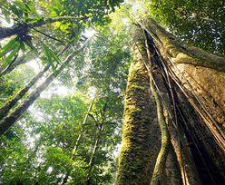 Amazonia: Odkryto największe drzewo. Jego wysokość wprawia w zdumienie