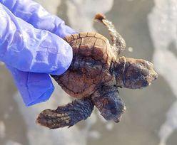 Ekstremalnie rzadki przypadek. Dwugłowy żółw