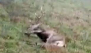 Myśliwi znęcali się nad jeleniem