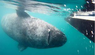 400-letni rekin grenlandzki jest najstarszym żyjącym kręgowcem