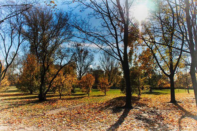 Po co nam w mieście drzewa? Ekspert: Tworzą enklawy pozbawione szkodliwych pyłów