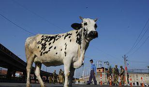 Krowa na drodze w Ramgarh w Indiach