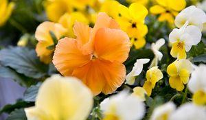 Łatwe w uprawie kwitnące rośliny doniczkowe: fiołek, skrzydłokwiat, amarylis...