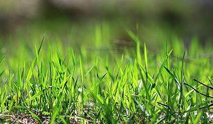 Udało się uzyskać energię elektryczną ze... sztucznej trawy