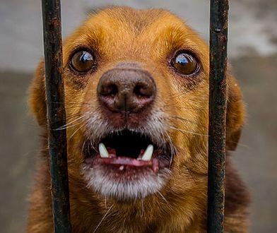 Wścieklizna w Nowym Sączu. Niezaszczepione psy mogły roznieść chorobę