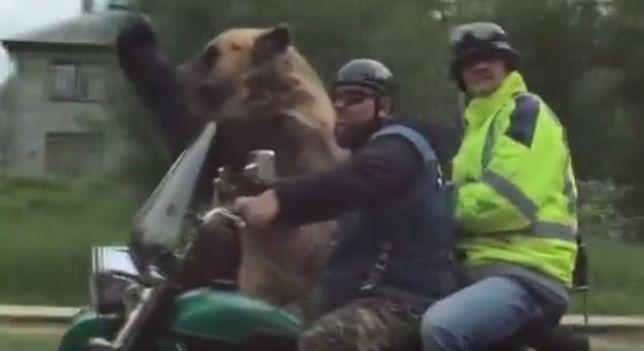 Niedźwiedź na motorze. Bestialstwo, czy dobra zabawa?