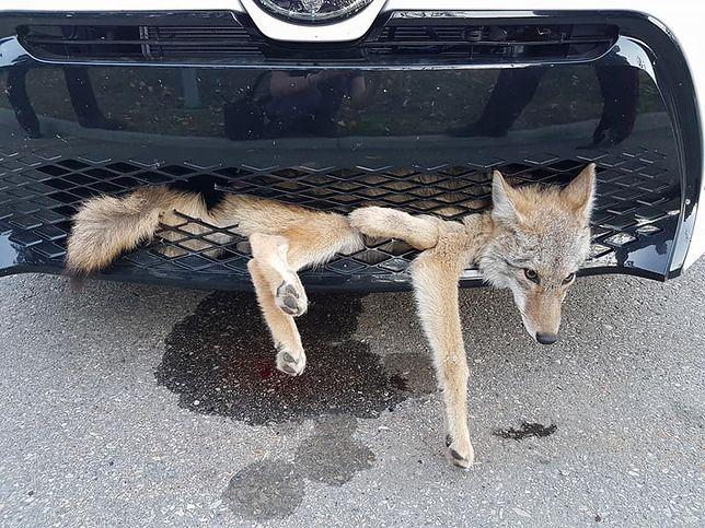 Kojot wbiegł pod samochód i utknął w zderzaku.