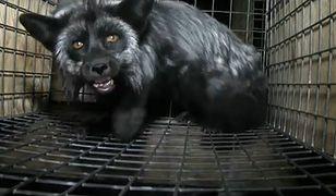Drastyczny film - w ten sposób przetrzymują lisy na wielkopolskich fermach
