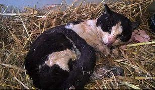 W Grabowie nad Prosną znaleziono kota, którego ktoś podpalił a później ogolił