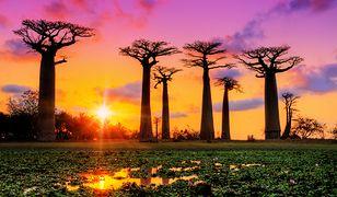 """Urodowy sekret z Afryki. Olej z nasion """"drzewa życia"""""""
