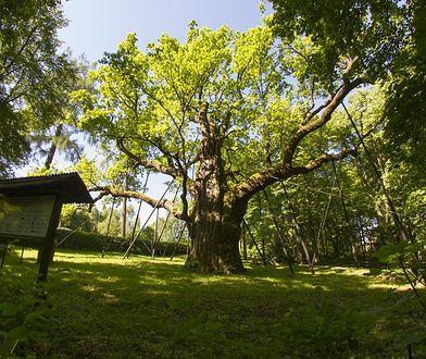 Najstarsze drzewa w Polsce