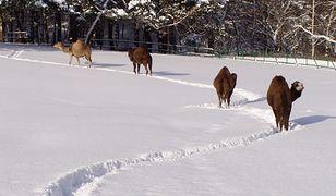 Wielbłądy z gdańskiego zoo bardzo dobrze wspominają zeszłoroczną zimę.