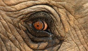"""Zanim słoń stanie się atrakcja turystyczną, treser musi go """"złamać"""""""