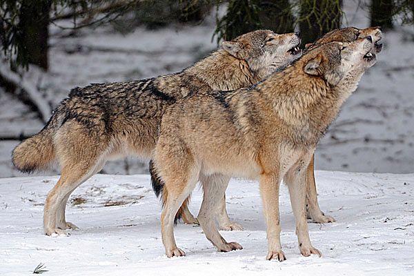 W Jakucji stan wyjątkowy z powodu wilków
