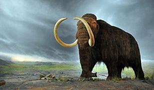 Naukowcy wprowadzili geny mamuta do genomu słonia