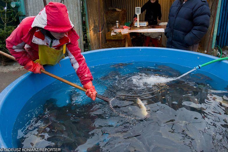 Każdy sklep zapewnia, że sprzedaje polskiego karpia , a tak naprawdę, co piąta ryba pochodzi z importu.