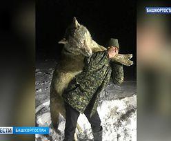 Rosja. Wilk wielkości człowieka zastrzelony