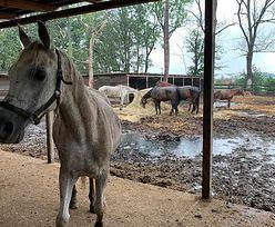 Największy azyl dla koni w Europie zniszczony. Centaurus prosi o pomoc