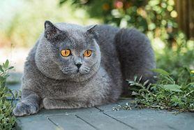 Kot brytyjski krótkowłosy - charakterystyka, pielęgnacja, najczęstsze choroby