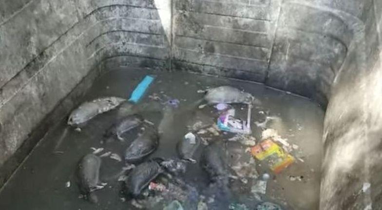 Porażające wideo z Glasgow. Martwe szczury w koszach na śmieci