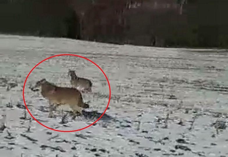 Wilki grasują po Elblągu. Mieszkańcy boją się jak nigdy