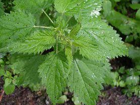 Te zioła pomogą zwiększyć twoją płodność. Pij je codziennie i przekonaj się