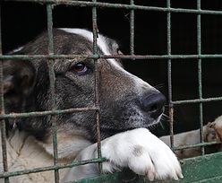 Psy ofiarami pandemii koronawirusa. Schroniska nie mają pieniędzy na utrzymanie