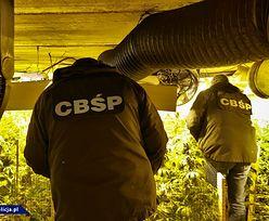 """CBŚP: """"Gigantyczna uprawa. Ponad 13 tys. krzewów konopi indyjskich"""""""