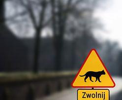 Posłowie chcą znaków drogowych chroniących koty. Marek Suski: to nie byłaby fanaberia