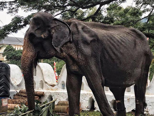 Oburzenie wywołały zdjęcia 70-letniej słonicy Tikiiri