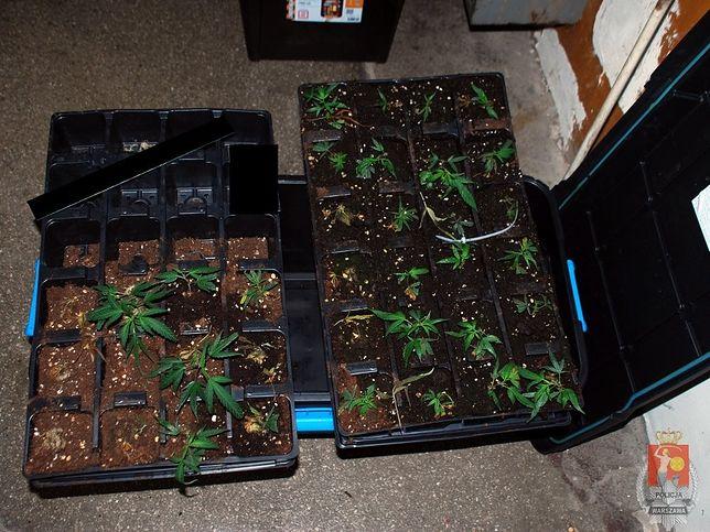 Ponad 100 sadzonek marihuany w mieszkaniu na Pradze