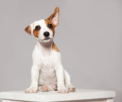 Psy rozpoznają słowa podobnie jak ludzie
