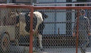 Nadal można sprzedać zdychające krowy