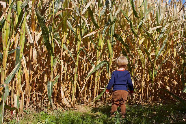 4-latek błąkał się po polu kukurydzy. Śledczy wiedzą co się działo z dzieckiem
