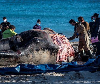 Wieloryb w Hiszpanii. Okropne odkrycie w żołądku zwierzęcia