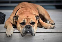 Psia depresja po lockdownie. Zwierzęta też cierpią przez pandemię
