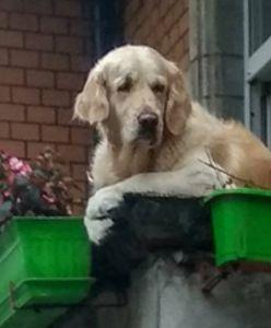 Pies na balkonie robi furorę. Ludzie już go kochają
