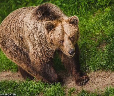 Atak niedźwiedzia.