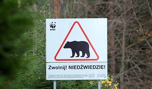 Atak niedźwiedzia w Bieszczadach