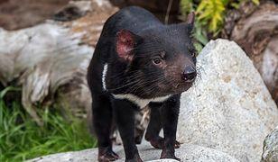 Diabły tasmańskie wróciły do australijskiej dziczy po 3000-lat