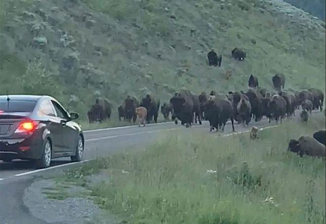 Stado bizonów ruszyło na przemierzające drogę trzy auta w Parku Narodowym Yellowstone w Wyoming