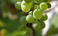Sadzenie winogron